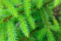 Branch of a pine tree Stock Image