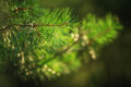 Branch of pine tree close up shot Royalty Free Stock Images