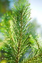 Branch of a pinetree Royalty Free Stock Photos