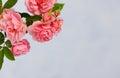 Branch of pink climbing rose Royalty Free Stock Photo