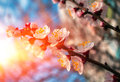 Branch with pink flowers at sunset . Spring bloom trees. Royalty Free Stock Photo