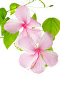 Branch pink hibiscus flower isolated on white background Stock Photo