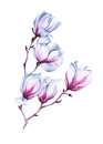 Branch of a pink Magnolia. isolated. watercolor illustration.