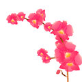 A branch of pink orchids isolation Stock Image