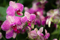 Branch of pink orchids