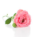 Branch of pink roses a with flower buds on a white background isolated Royalty Free Stock Photography