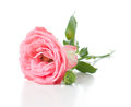 Branch of pink roses a with flower buds on a white background isolated Royalty Free Stock Image