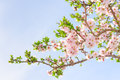 Branch of pink spring blossom cherry tree Royalty Free Stock Photo