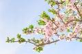 Branch of pink spring blossom cherry tree