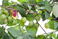 Branch of plum tree with green leaves and unripe plums Stock Images