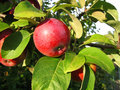 Branch with red apple Royalty Free Stock Photos