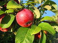 Branch with red apple Stock Photography