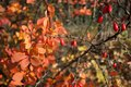 Branch of red barbarian in autumn time Royalty Free Stock Images