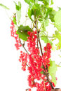 Branch of red currant Stock Photography