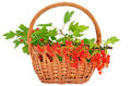 Branch of red currant in the wicker basket Stock Photos