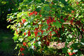Branch Of Red Currants In The ...