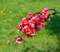 Branch with red flowers beautiful Stock Photography