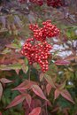 Nandina domestica shrub Royalty Free Stock Photo