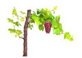Branch of red grapes vine leaves isolated on white background. Royalty Free Stock Photo