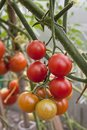 Branch with red tomatoes in the greenhouse Royalty Free Stock Photo