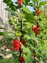 Branch with redcurrant berries in the garden Royalty Free Stock Photo