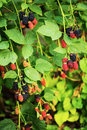 Branch with ripe blackberry. Royalty Free Stock Photo