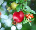 Branch with ripe pomegranate Royalty Free Stock Photo