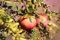 Branch with ripe pomegranates Royalty Free Stock Photo
