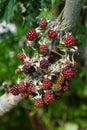 Branch Of Ripening Wild Blackb...