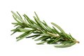 Branch of rosemary Royalty Free Stock Photo