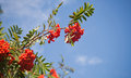 Branch of a rowan-tree with bright red berries Royalty Free Stock Image