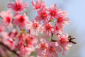Branch sakura blooming the spring tree branches with pink flowers Royalty Free Stock Images