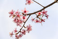 Branch sakura blooming the spring tree branches with pink flowers Stock Photos