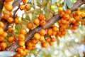 Branch of sea-buckthorn Royalty Free Stock Photo