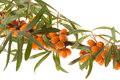 Branch of sea-buckthorn with berries Stock Photography