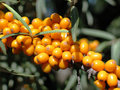 Branch of sea-buckthorn berries Royalty Free Stock Photo