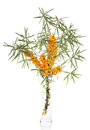 Branch sea-buckthorn berries in glass vase isolated on white.