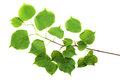Branch of small-leaved lime Tilia cordata isolated on white Royalty Free Stock Photo
