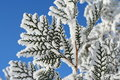 Branch of a snow-covered coniferous tree Stock Photo