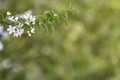 Branch of spring apple tree with white flowers, blooming background