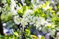 Branch of spring cherry blossom