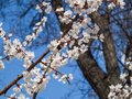 Branch of spring flowering apple tree with blue sky background Royalty Free Stock Photo