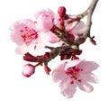 Branch Of Spring Plum Blossom ...