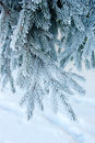 Branch of spruce on snow background Royalty Free Stock Image