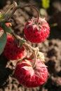 Branch strawberry Royaltyfri Fotografi