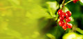 Branch of sweet fresh red currant in the garden. Red currant on Royalty Free Stock Photo