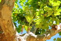 On the branch of a sycamore grows palm trees Royalty Free Stock Photo
