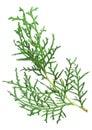 Branch thuja