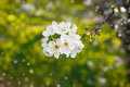 Branch of tree blossoming by white Royalty Free Stock Photo