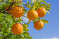Branch of a tree with oranges on blue sky Royalty Free Stock Photo